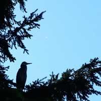 Roosting great blue heron